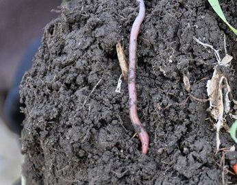 soil with earth worm