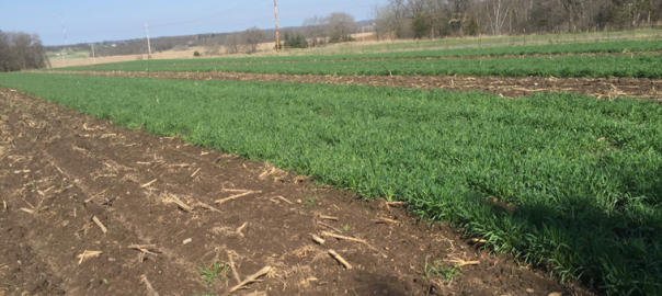 Spring rye growth at the same site.
