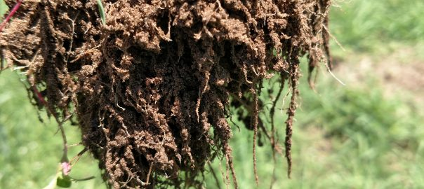 soil from uprooted grass